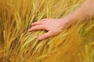 mão em close-up de trigo foto