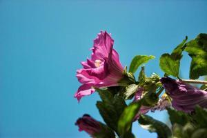 floração rosa de Sharon foto