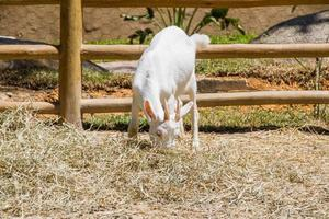 cabra comendo grama no rio de janeiro foto