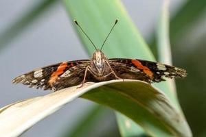 vista frontal de uma borboleta em uma folha de junco foto