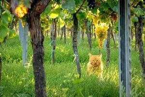 gato laranja sentado entre uvas em um vinhedo foto
