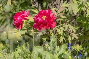 peônias vermelhas com folhas foto