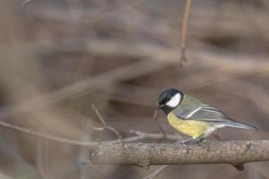 pássaro chapim sentado em um galho foto