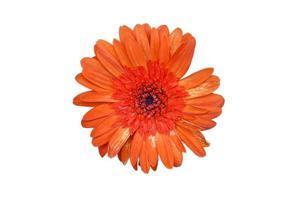 flor de crisântemo isolada no fundo branco foto