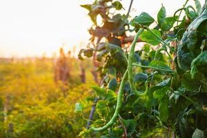 feijões longos frescos em uma fazenda de vegetais prontos para a colheita foto