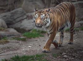 tigre sumatra no zoológico foto