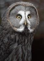 coruja cinzenta foto