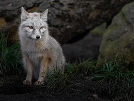 retrato de raposa corsac foto
