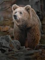 urso marrom do Himalaia foto