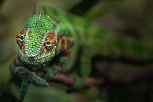 retrato do camaleão pantera foto