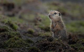 esquilo à terra europeu foto