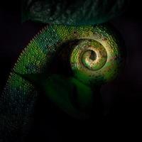 cauda do camaleão pantera foto