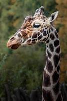 retrato de girafa reticulada foto