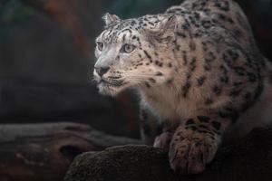 íris leopardo da neve foto