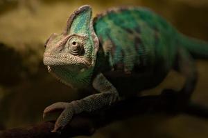 retrato de camaleão velado foto