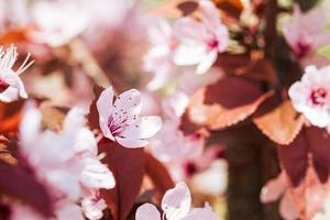 ameixa fruta rosa flores em flor em galho de árvore, foco seletivo de primavera foto