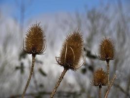 closeup de cabeças de sementes de carda no inverno foto