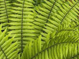 closeup de folhas verdes brilhantes de samambaia dryopteris wallichiana foto