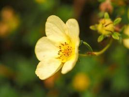close de uma flor de potentila amarela bonita foto
