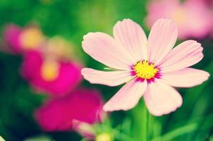 flor do cosmos sobre o fundo verde. foto