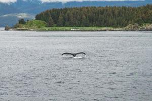 baleia jubarte mergulhando em frente às árvores no Alasca foto