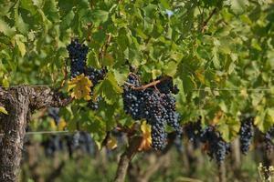 uvas na vinha no sul da frança na provença foto