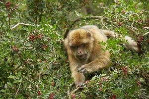 close-up do macaco barbary macaque de gibraltar foto