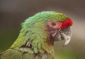 perfil de papagaio arara foto