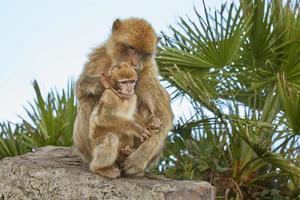 mãe e filho dos macacos barbary macaque de gibraltar foto