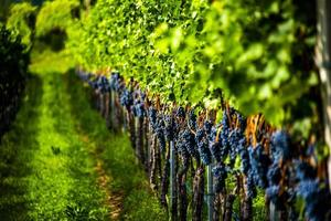 uva pronta para colheita no lago caldaro em bolzano, itália foto