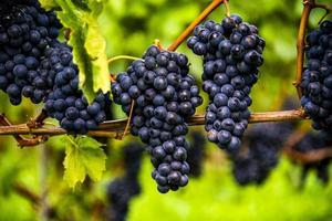 uvas prontas para colheita foto
