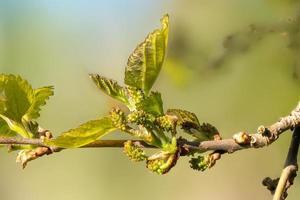foto macro da folha e botões de flores da amora preta
