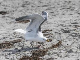 gaivota-branca voa sobre a praia arenosa do mar Báltico com ondas foto