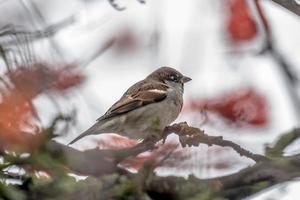 pardal macho sentado em um denso arbusto invernal foto