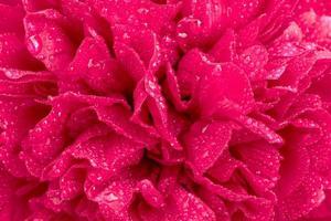 pétalas de uma grande peônia vermelha com gotas de água foto