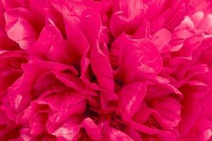 pétalas de uma grande peônia vermelho-escura foto