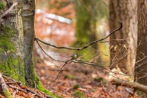 floresta de faias de outono com um chapim em um galho contra um fundo desfocado foto