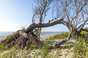 floresta de pinheiros na costa báltica alemã com dunas e areia foto