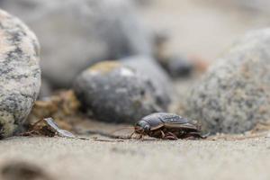 grande enxame de besouro rasteja sobre pedras na costa do mar Báltico foto