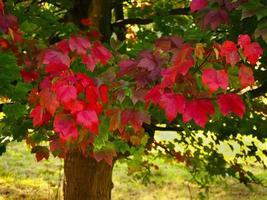lindas folhas vermelhas brilhantes em uma árvore de bordo no outono foto
