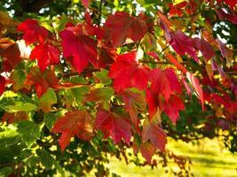 lindas folhas vermelhas de outono em uma árvore de bordo foto
