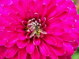 hoverfly no centro de uma flor de dália rosa brilhante foto