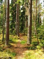 caminho através de altos pinheiros em uma floresta foto
