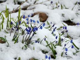 flores azuis scilla sob a neve na primavera foto