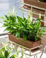 Lírio da paz spathiphyllum feminino planta da felicidade na panela de ferro foto