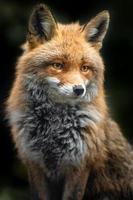 retrato de raposa vermelha foto