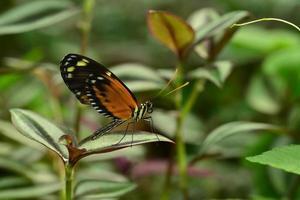 borboleta tigre asa longa foto