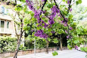 cercis siliquastrum ou árvore judas em vicenza, itália foto