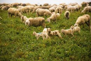 pastando ovelhas no planalto de asiago perto de vicenza, itália foto