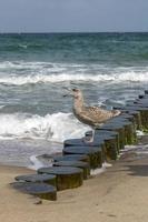 gaivota arenque marrom grita na praia arenosa do mar Báltico foto